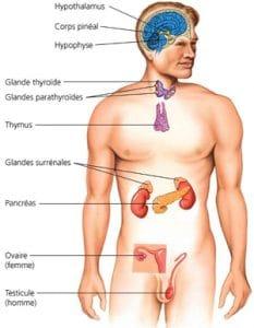 Le rôle inconnu de la glande génitale