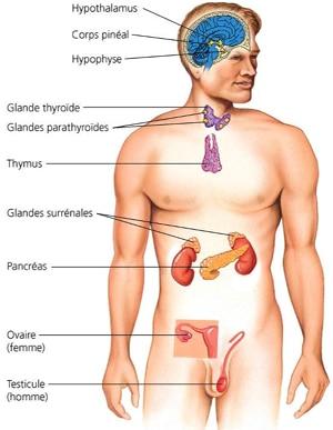 les glandes dans le corps humain